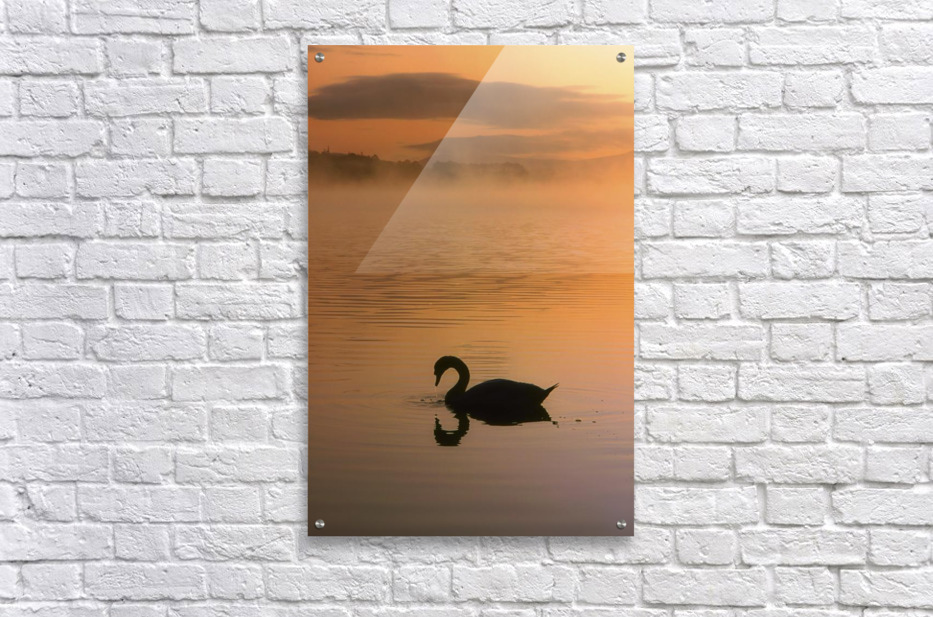 Lough Leane, Lakes Of Killarney, Co Kerry, Ireland; Silhouetted Swan  Acrylic Print
