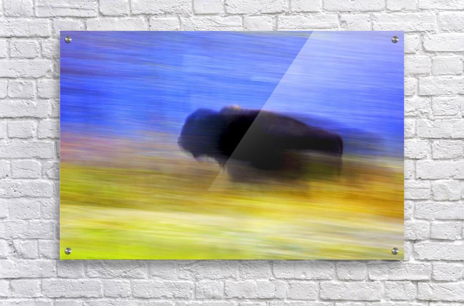 Buffalo In Motion - PacificStock Canvas
