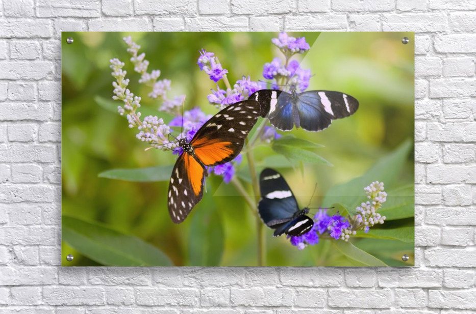 Three Colorful Butterflies On Blossoms In Spring; Oregon, Usa  Acrylic Print