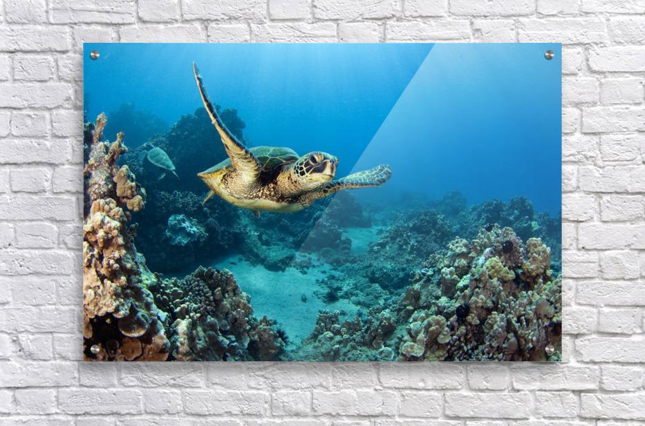 Usa Green Sea Turtle Chelonia Mydas Hawaii