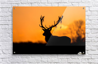 Red Deer Stag Silhouette  Acrylic Print