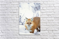 Red fox (vulpes vulpes) in the snow along the shores of the hudson's bay;Churchill manitoba canada  Acrylic Print