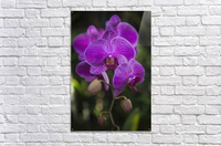 Phalaenopsis orchids in bloom; Kailua, Island of Hawaii, Hawaii, United States of America  Acrylic Print