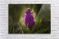 Close up of a pink hyacinth; South Shields, Tyne and Wear, England  Acrylic Print