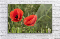 Close up of red poppies blossoming; South Shields, Tyne and Wear, England  Acrylic Print