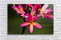 Close-up of bright pink plumeria flowers; Maui, Hawaii, United States of America  Acrylic Print