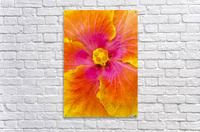 Close-up macro shot of a beautiful orange, pink and yellow Hibiscus flower; Honolulu, Oahu, Hawaii, United States of America  Acrylic Print