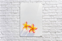 A pair of beautiful yellow and pink Plumeria flowers together (Apocynaceae) on a white background; Honolulu, Oahu, Hawaii, United States of America  Acrylic Print