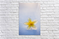 Close-up of a single beautiful yellow Plumeria flower (Apocynaceae) in soft focus; Honolulu, Oahu, Hawaii, United States of America  Acrylic Print