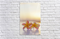 Close-up of a pair of beautiful yellow and pink Plumeria flowers (Apocynaceae) with sunset lighting the background; Honolulu, Oahu, Hawaii, United States of America  Acrylic Print