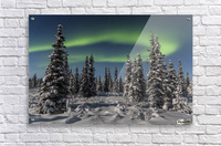Green Aurora Borealis dances over the tops of snow covered black spruce trees, moonlight casting shadows on a clear winter night, interior Alaska; Gakona, Alaska, United States of America  Acrylic Print