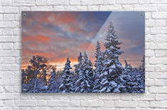 View Of Snow Covered Spruce Trees In A Rural Area Of Anchorage At Sunset, Southcentral Alaska, Winter  Acrylic Print