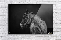 Amish Workhorse  Acrylic Print