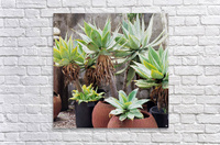 Potted Agave Plant  Acrylic Print