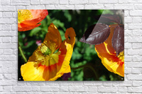 Yellow Poppies Growing in a Garden  Acrylic Print