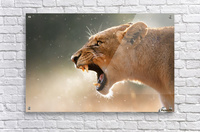 Lioness in the rain  Acrylic Print