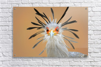 Secretary bird portrait close-up head shot  Acrylic Print