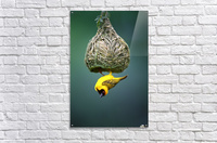 Masked weaver at nest  Acrylic Print