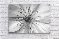 Clematis White  Acrylic Print