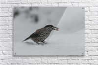 Spotted nutcracker in the snow  Acrylic Print