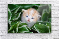 Orange Kitten  Acrylic Print