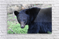 2350- black bear  Acrylic Print