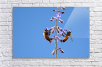 Two Bees On Vine Photograph  Acrylic Print