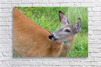 Summer Doe  Acrylic Print