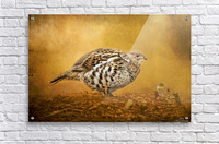 Female Ruffed Grouse  Acrylic Print
