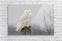 Snowy Owl on the Fence  Acrylic Print