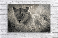 Lioness in the sun  Acrylic Print