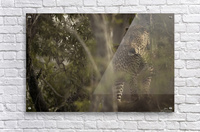 Ghosts of the Serengeti  Acrylic Print