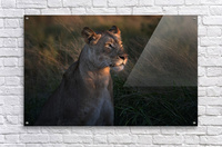Lioness at firt day ligth  Acrylic Print
