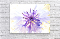 Purple Flower Burst  Acrylic Print