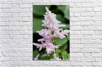 Pink Astilbe 2  Acrylic Print
