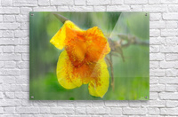 Canna Lily Digital Painting 52 70 200px  Acrylic Print