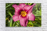 Purple Stella Doro Day Lily Flowers 2  Acrylic Print