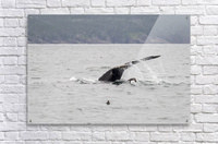Humback whale a puffin and a murre 4  Acrylic Print