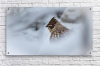 Winter Ruffed Grouse  Acrylic Print