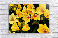 Yellow Freesias  Acrylic Print