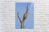 White-backed vulture in a tree  Acrylic Print