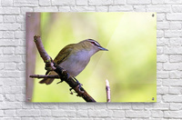 The Tireless Songster  Acrylic Print