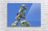 Oriole And White Blossoms  Acrylic Print