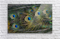 peacock tail feathers close up  Acrylic Print