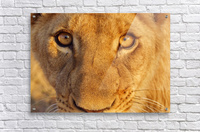 Lion Eyes   Acrylic Print