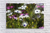 Daisies Of White And Pink  Acrylic Print