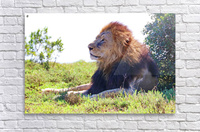Lion Male in Addo 9240  Acrylic Print