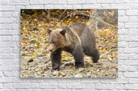 Grizzly Youngster  Acrylic Print
