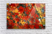 Fall Foliage Photography   Acrylic Print