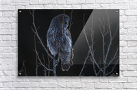 Great Grey Owl - After sunset  Acrylic Print